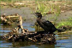 Cormoran mic – Phalacrocorax pygmeus – Pygmy Cormorant