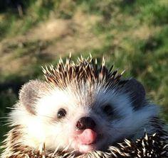 """Hedgehog.    (""""Erizo."""")"""