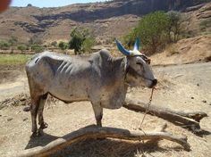 Animal Cruelty - The game of Jalli Kattu! - News - Bubblews Bulls Wallpaper, Animal Wallpaper, Indian Blue, Indian River, Indian Hot Images, Free Stock Photos, Free Photos, Bull Pictures, Indian Flowers