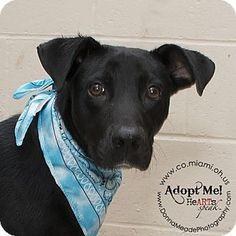 Urgent! I am at a full, high kill shelter in Troy, OH - Labrador Retriever Mix. Meet Sam, a dog for adoption…