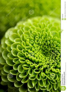 Buy Green floral background by sergeyskleznev on PhotoDune. Flowers: green chrysanthemum flower, close-up shot, abstract floral background Green Rose, Green Flowers, Go Green, Green Colors, Colours, Kelly Green, Pretty Green, Deco Nature, Flower Close Up