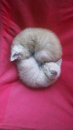 El ronroneo de los gatos tiene la capacidad de tranquilizarlos a sí mismos cuando están enfermos o asustados.