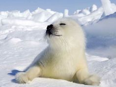This little Harp Seal pup is adorable....and he knows it!