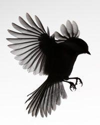 chickadee - Google Search