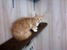 CoCo Chanel is an adopted Domestic Long Hair - Orange And White Cat in Fairmont, WV. CoCo Chanel is quite the pretty girl. She likes attention and will walk right up to you. She came to us heavily p...