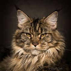 Robert Sijka Captures The Fierce Beauty of Maine Coons Cats