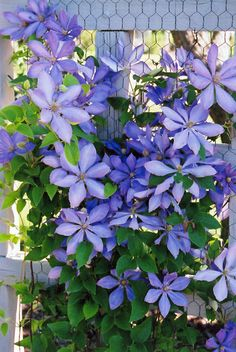 Mrs. Cholmondeley Clematis