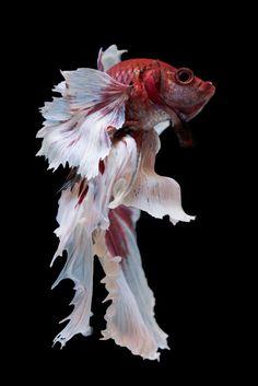 Download Halfmoon Betta Fish for free