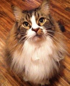 """My cat Tiger """"Kitty Mew Mew"""". Dana, Aledo, Texas. 10/11/12."""