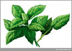 Albahaca - Fideos Don Vicente | Ilustraciones para rediseño de packs Ilustración para Envases - Ilustración de Empaques - Packaging Illustration