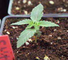 germinate outdoor cannabis