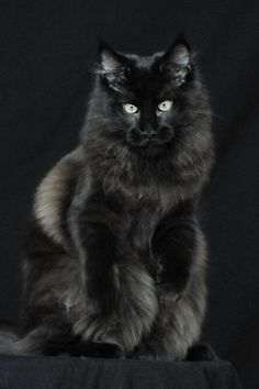 Black Maine Coone cat