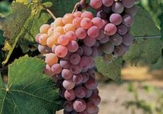 How to Prune Grape Vines for Great Gardening Outcome