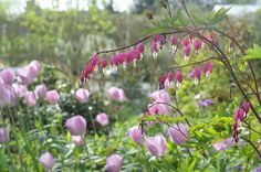 Bleeding hearts and tulips.  Claus Dalby