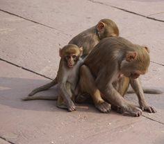 Monkeys in Agra.