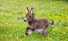 OMG! Deze mini-ezels zijn zo klein dat ze in je achtertuin kunnen huppelen