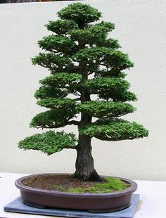 Bonsai, Formal Upright style (Chokkan).