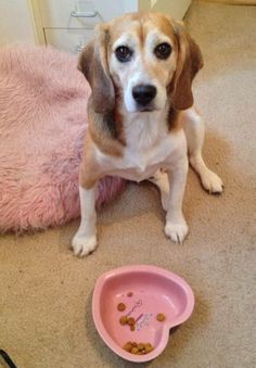 Elvis of The Beagle Freedom Project isn't quite sure what to make of all the pink?