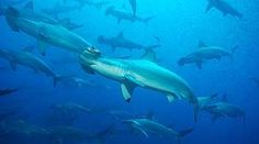 Malpelo, Kolumbien, eines der letzten Rückzugsgebiete für Haie