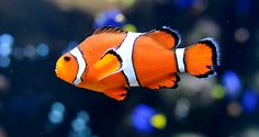 Saving Nemo? Scientists work to protect endangered clown fish | TIME For Kids