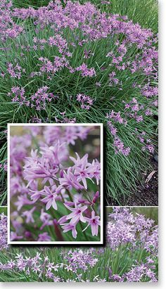 Tulbaghia  ~ hardy, long flowering, easy to grow, low maintenance. 'Dark Star' variety shown. Also available in pure white 'Milky Way' variety. Good for edging/borders.