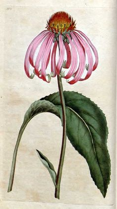 Picturing Plants and Flowers - lots of great vintage botanical illustrations.