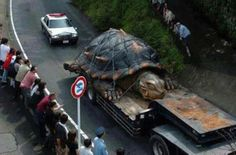 world's largest tortoise found in the amazon river