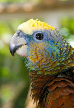 St. Vincent Amazon Parrot - Amazona guildingii
