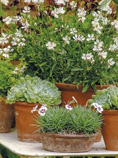 container gardening, clay pots