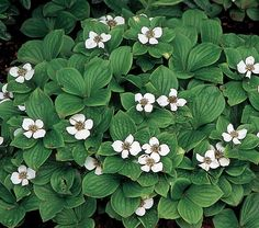 Cornus canadensis (bunchberry, dwarf cornel) - a ground cover dogwood, produces red berries after the flowers Garden Shrubs, Flowering Shrubs, Landscaping Plants, Shade Garden, Shade Flowers, Shade Plants, White Flower Farm, Moon Garden, Shade Perennials