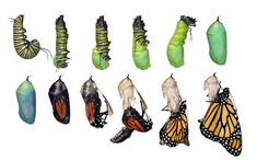 Monarch Butterfly Life Cycle (Danaus Plexippus) Stock Photo - Image of caterpillar, transform: 23483934 Butterfly Pupa, Butterfly Kit, Butterfly Life Cycle, Monarch Butterfly, Metamorphosis Art, Butterfly Metamorphosis, Butterfly Migration, Stock Foto, Life Cycles