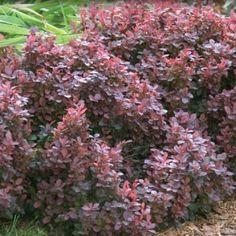 Tunbergo raugerškis (Berberis thunbergii)  'Dart's Red Lady'