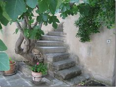 A Week in Provence an old fig tree
