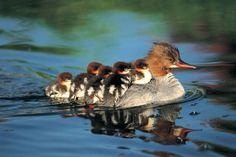 Cute_ducklings