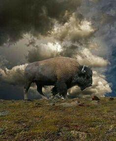Roaming buffalo ✿⊱╮