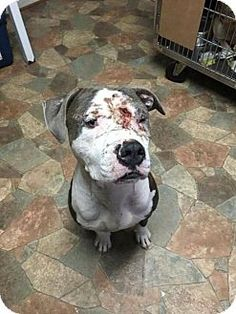 """●9•10•16 SL●American Bulldog Mix Dog for adoption in New York, New York - Brutus was left behind & abandoned by his previous """"owners"""" treated like he didn't matter & left to fend on his own. He was viciously attacked by neighborhood dogs & suffered deep lacerations to his face. Rescue Dogs Rock where he is now recovering describe him as very sweet good with people & despite his injuries good with other dogs."""