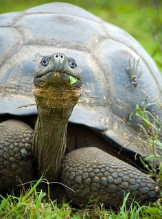 A giant Galapagos Turtle He may not be a sea turtle but I love him, big ole tortoise! Baby Tortoise, Giant Tortoise, Tortoise Turtle, Tortoise Cage, Sulcata Tortoise, Isla Galapagos, Galapagos Islands, Reptiles And Amphibians, Mammals