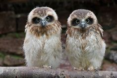Boobook Owl chicks - my babies in care