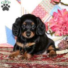 Dachshund Breeders, Dachshund Puppies For Sale, Dachshund Dog, Dog Breed Info, Greenfield Puppies, Dog Breeds, Dogs, Animals, Animales