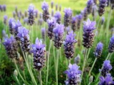 Benefits of lavender is many.  Find out those.