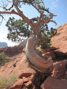 Sedona Vortex Trees