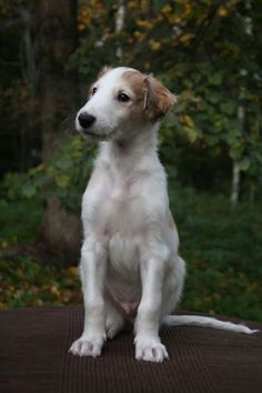 Boy- cute borzoi pup