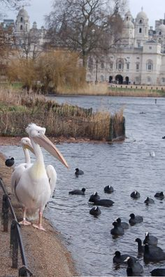 Pelicans and Coots in St James Park, London