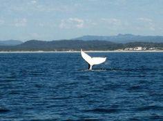 Humpback Whale off Macquarie NSW Australia Tourism, Coast Australia, Visit Australia, Pacific Blue, South Pacific, Pacific Ocean, Places Ive Been, Places To Go, Port Macquarie