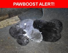 Please spread the word! Kittens was last seen in West Palm Beach, FL 33415.  Message from Owner: Our Mama cat named Lulu gave birth to 4 kittens on 4/15/17.  She was last seen with kittens nursing them in my Geo Storm @ 379 Holly Drive West Palm Beach North of Wallis  Rd and  West of Haverhill Rd.   One kitten is gray with white paws, 1 is black with white paws and 2 are black with possible white paws.  Mama Cat Lulu keeps looking for them and cries.  She knows they are missing. and hopes…