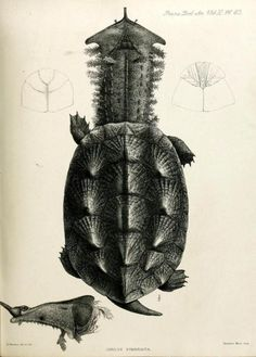 Mata mata turtle (Chelys fimbriata) | Transactions of the Zoological Society of London (1885)