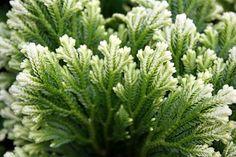"""Amazon.com: Frosty Fern Spike Moss - Selaginella - Easy to Grow - 2.5"""" Pot: Patio, Lawn & Garden"""