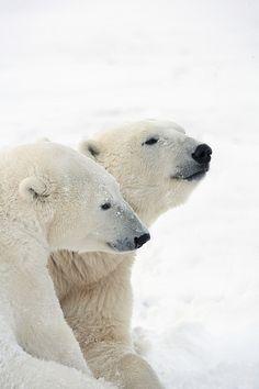 Two Polar Bears - by Richard Wear [fineartamerica]
