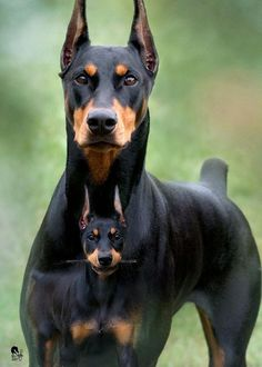 The Doberman Pinscher is among the most popular breed of dogs in the world. Known for its intelligence and loyalty, the Pinscher is both a police- favorite Black Doberman, Doberman Love, Big Dogs, Dogs And Puppies, Baby Puppies, Doberman Pinscher Puppy, Doberman Puppies, Dogs Trust, Miniature Pinscher