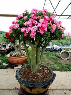 True 5 Pcs Desert Rose Seeds,Adenium Obesum Seeds Double Petals Bonsai Flower Seeds Potted Plant For Home & Garden Bonsai Plants, Bonsai Garden, Garden Pots, Bonsai Trees, Unusual Plants, Exotic Plants, Rare Flowers, Beautiful Flowers, Desert Plants